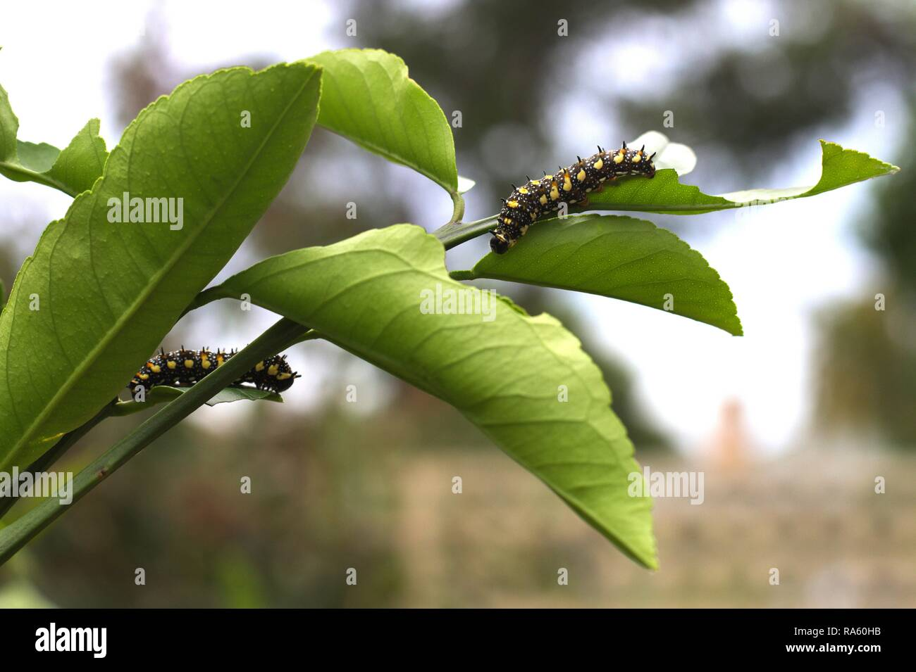 Two Caterpillars of Dainty Swallowtail Butterfly on citrus tree. Stock Photo