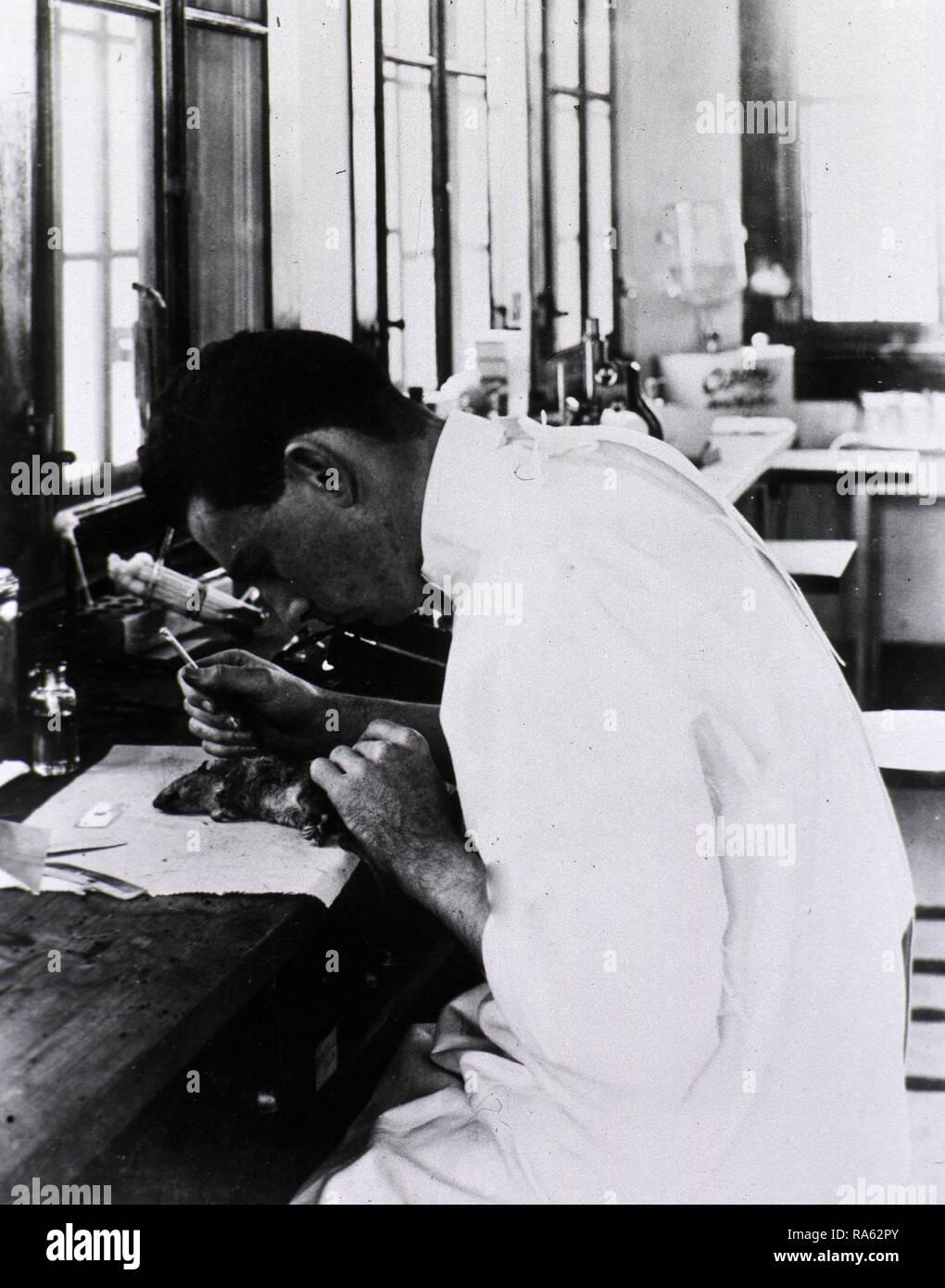 Laboratory technician examining a dead rat, New Orleans, La. ca. 1914-1920 - Stock Image