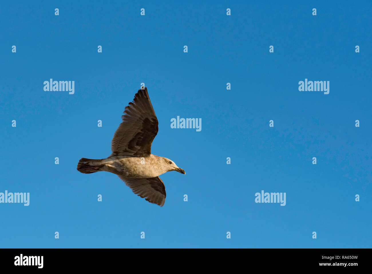 A juvenile Californian Western Gull in flight on the west coast near Monterey in California USA - Stock Image