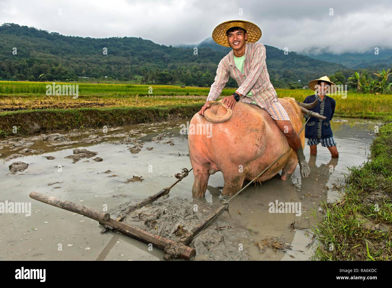 Young man sitting on a water buffalo in a rice field, Living Land Farm Project, Luang Prabang, Laos - Stock Image