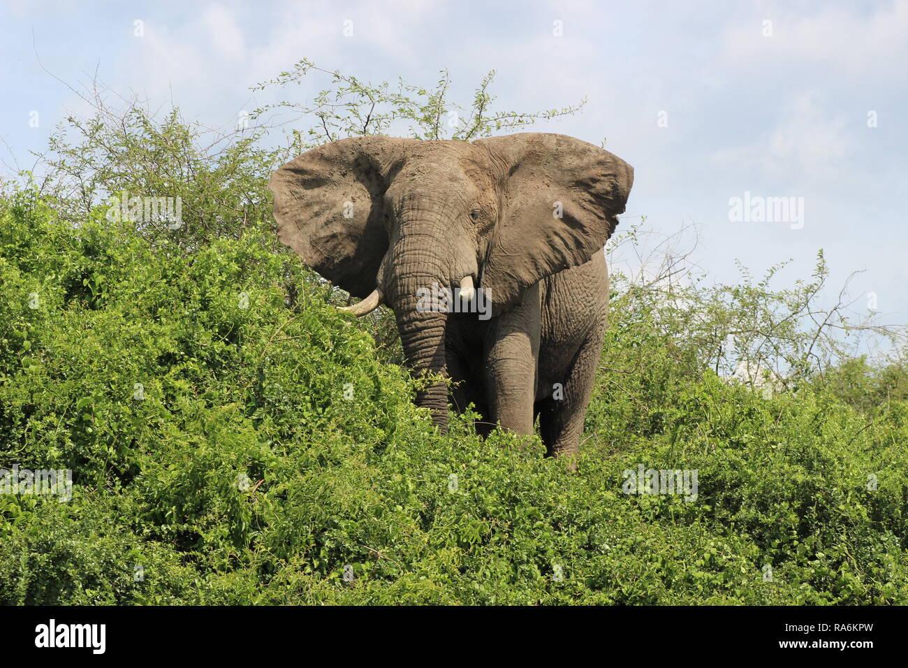 African bush elephant (Loxodonta Africana) in Queen Elizabeth National Park, Uganda, Africa - Stock Image