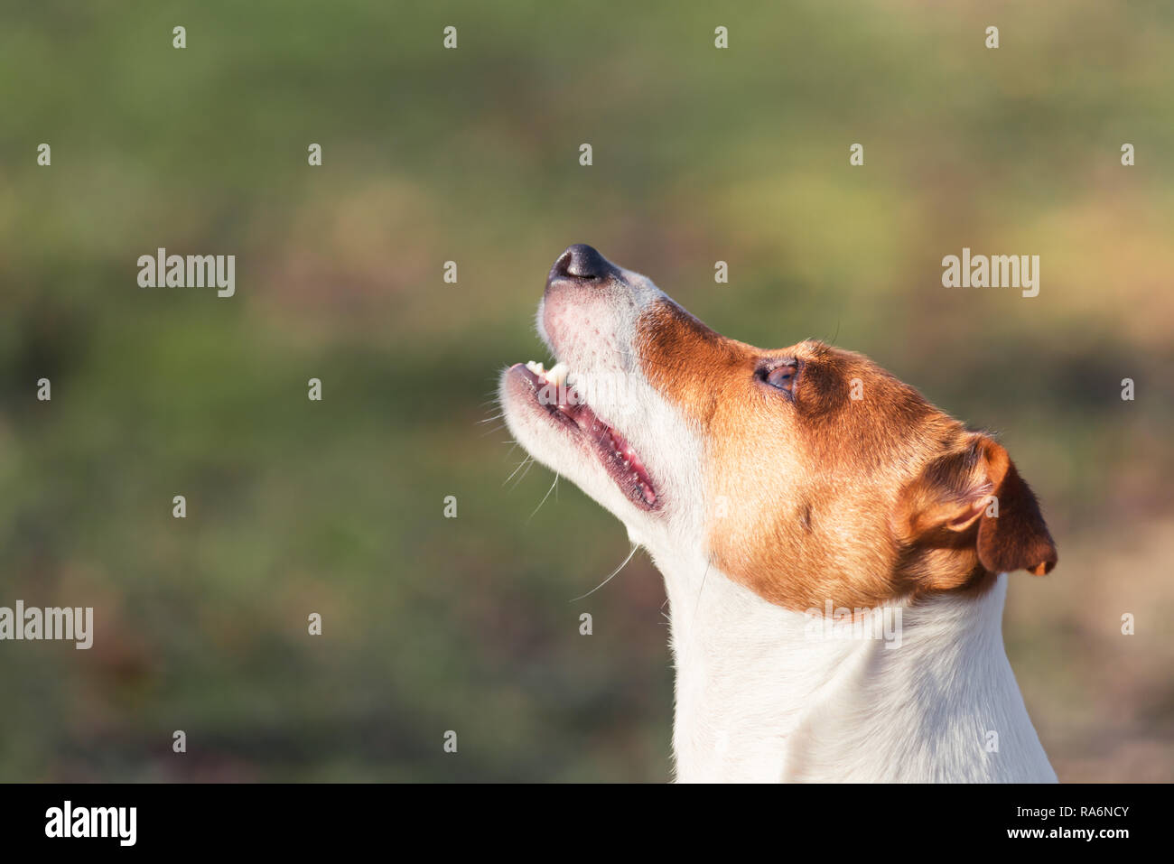Jack russel terrier with open mouth. Happy Dog with funny gaze - Stock Image