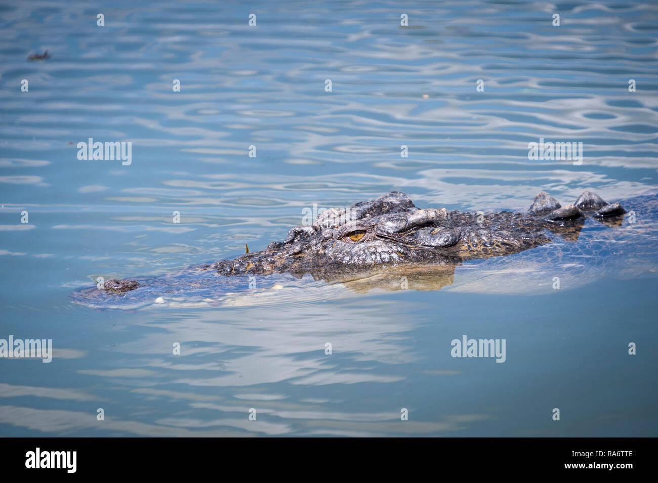 Cruising croc, Northern Territory - Stock Image