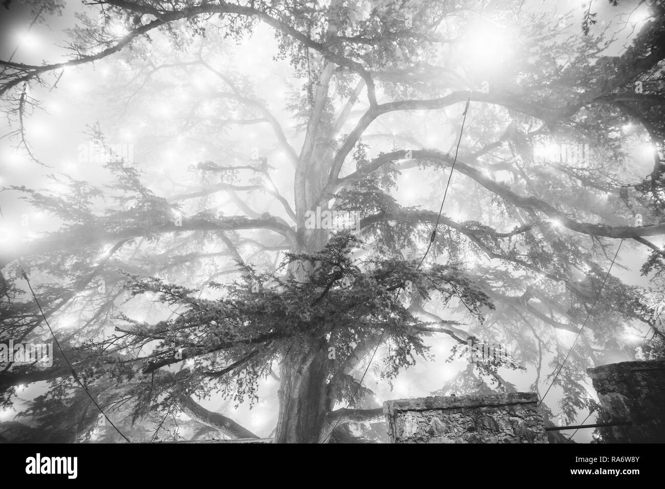 Black and white lighting effect of the biggest Christmas tree in the fog, photographed from below, Cison di Valmarino, Italy - Stock Image