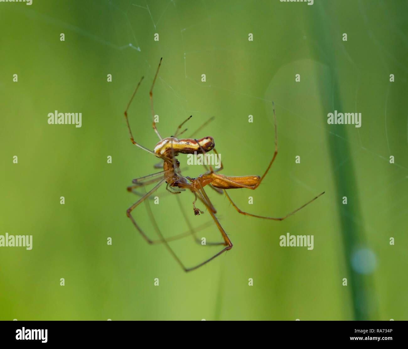 Stretcher spiders (Tetragnatha extensa) in pairing, Bavaria, Germany - Stock Image