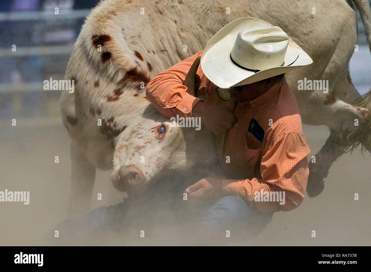 A rodeo competitor grabing a bull by the horns at a bull doggin event at a rodeo in Alberta Canada. Stock Photo