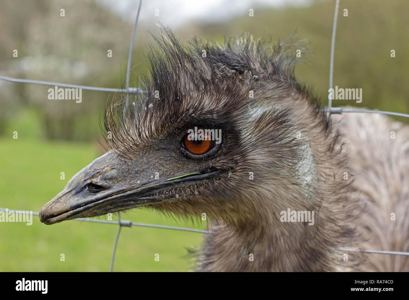 Emu (Dromaius novaehollandiae) looking through wire fence, Wolpersdorf, Sauerland, North Rhine-Westphalia, Germany - Stock Image