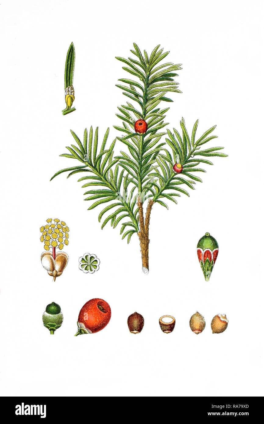 English yew (Taxus baccata), a medicinal plant, historical chromolithography, 1796 - Stock Image