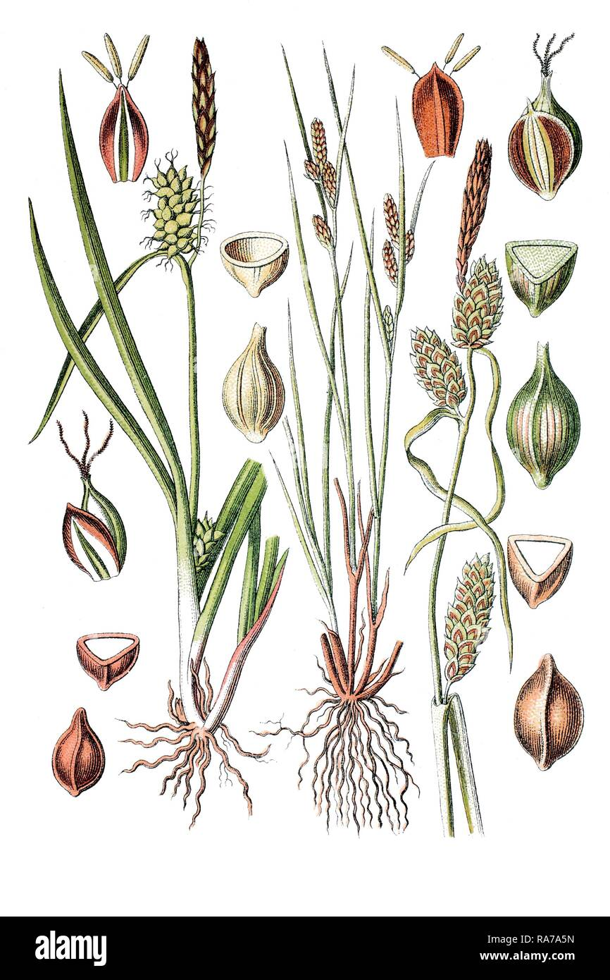 Sedge species (Carex oederi), left, and Long-bracted Sedge (Carex extensa), right, medicinal plant, historical chromolithography - Stock Image