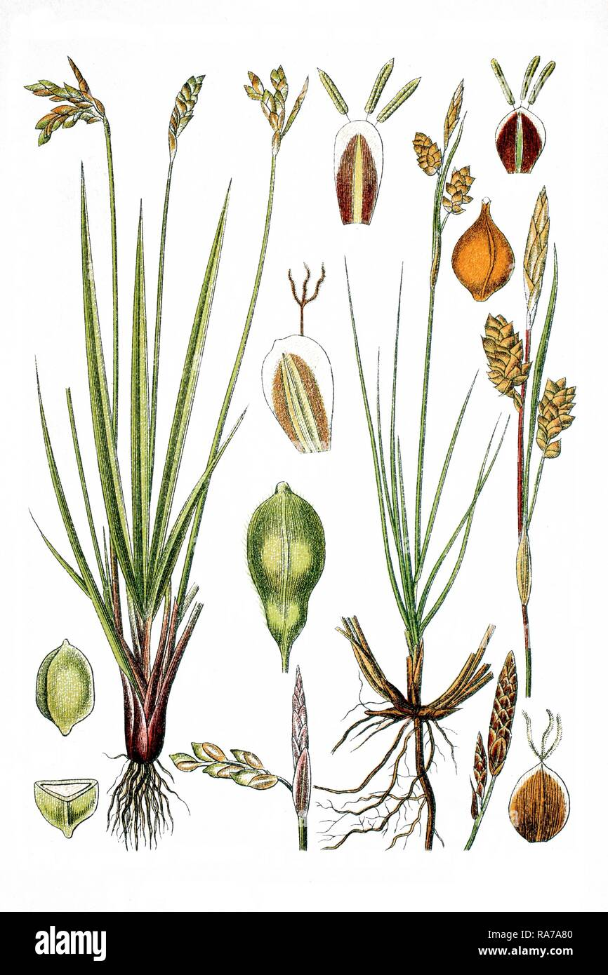 Left, Birds Foot Sedge (Carex ornitopoda), right, Glossy Sedge (Carex nitida), medicinal plants, historical chromolithography - Stock Image