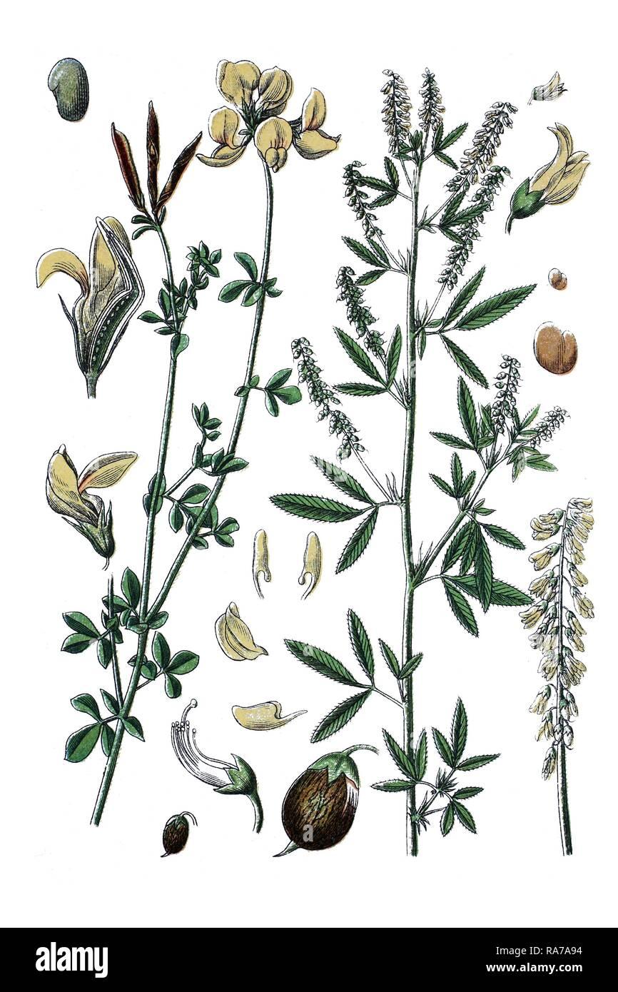 Bird's-foot trefoil (Lotus corniculatus) on the left, species of Sweet-clover (Medicago dentata - Stock Image