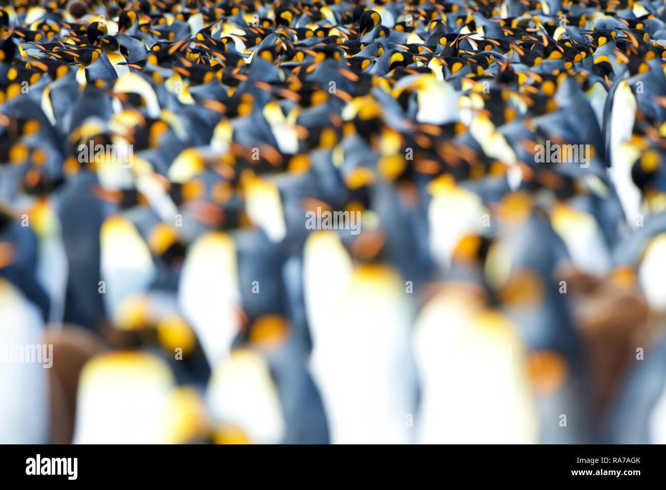 King Penguins in Gold Harbour, South Georgia - Stock Image