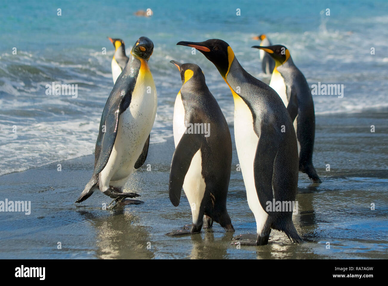 King Penguins in Gold Harbour, South Georgia Stock Photo
