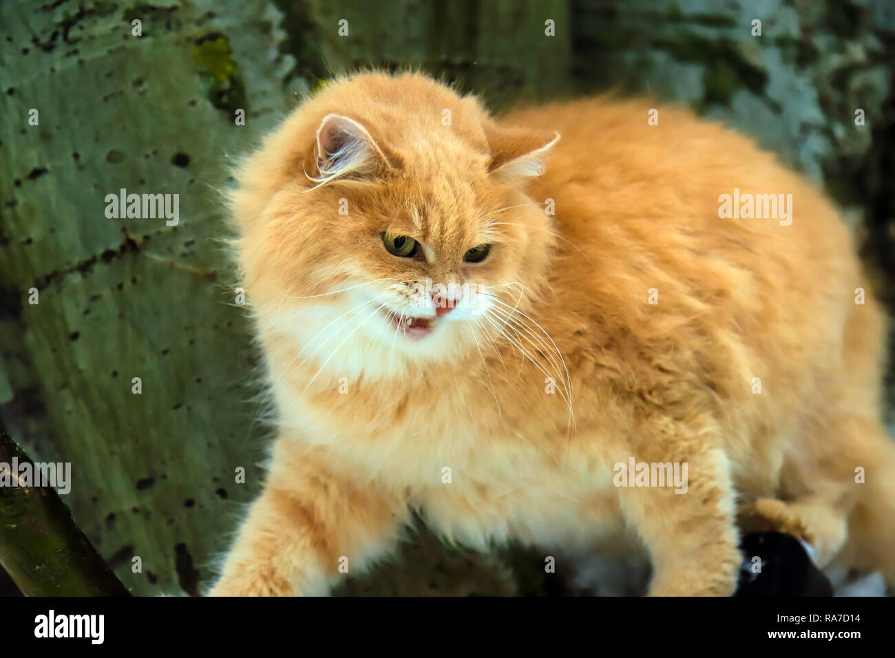 Big angry red cat with open mouth sits on a tree - Stock Image