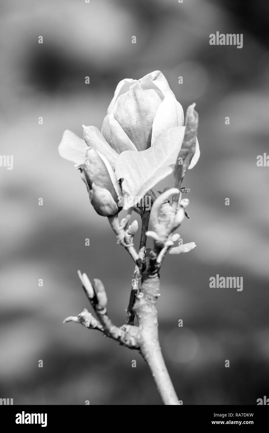 Spring season concept. Magnolia flower bloom on blurred background. Blossom of magnolia tree on sunny day, spring flower. New life awakening. Nature, beauty, environment. - Stock Image