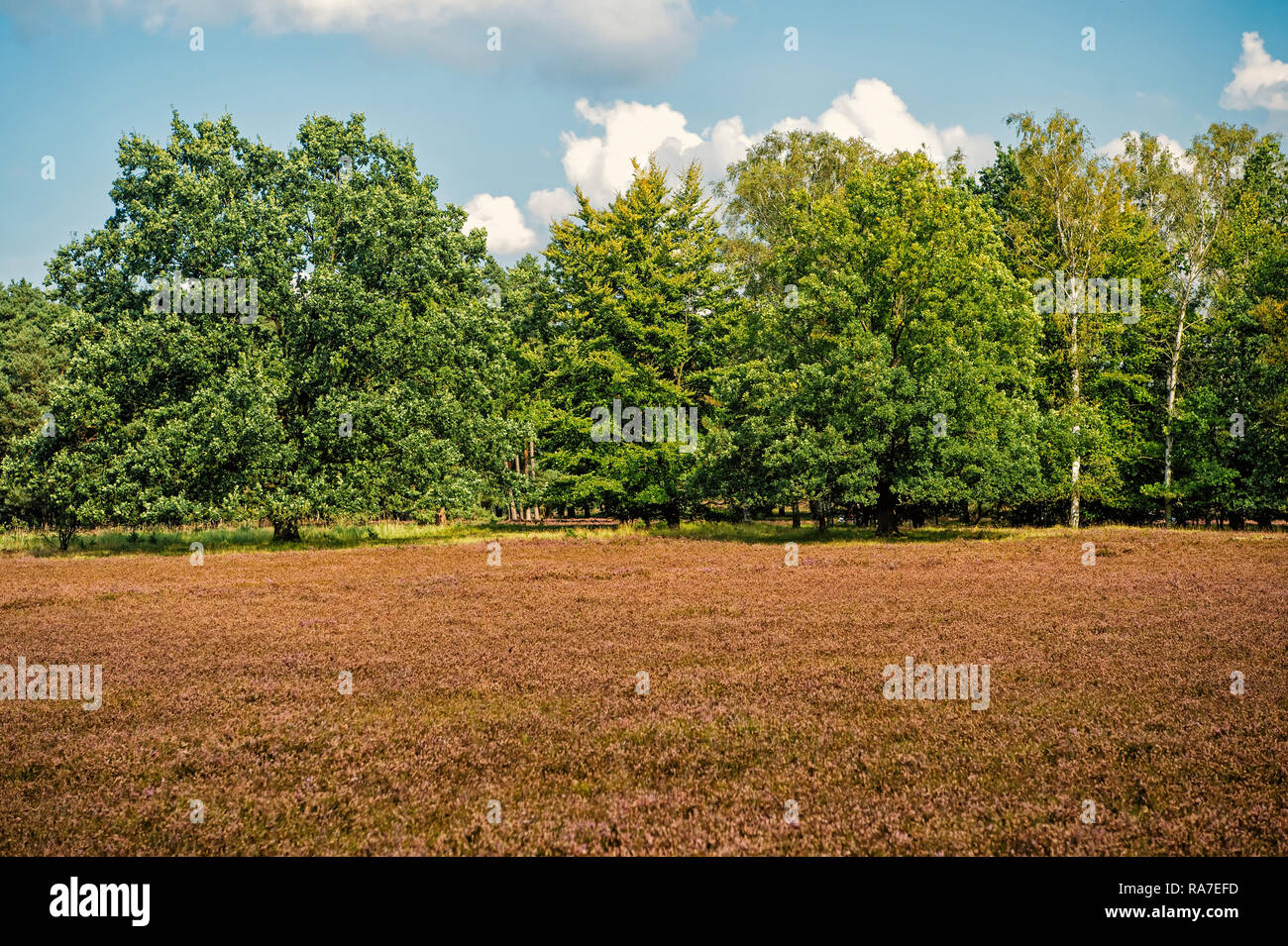 Heathland with flowering common heather Calluna vulgaris and an oak in the Lueneburg Heath Lueneburger Heide in Lower Saxony, Germany. Autumn field and meadow concept Stock Photo
