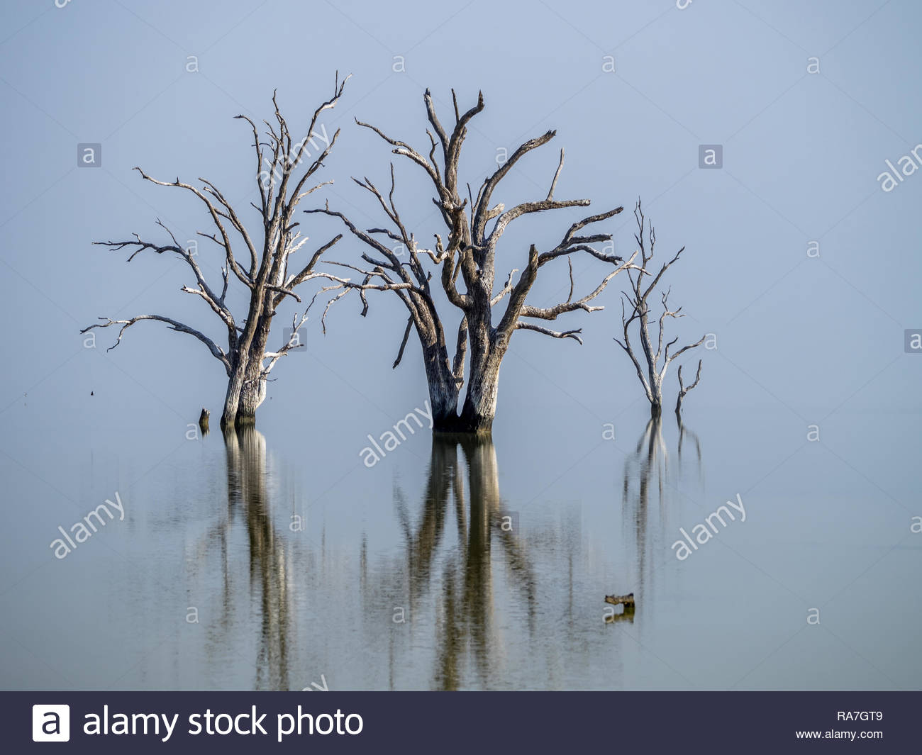 Lake Bonney tree reflections with shimmer on water.  Foggy Barmera morning, Sth Australia. - Stock Image