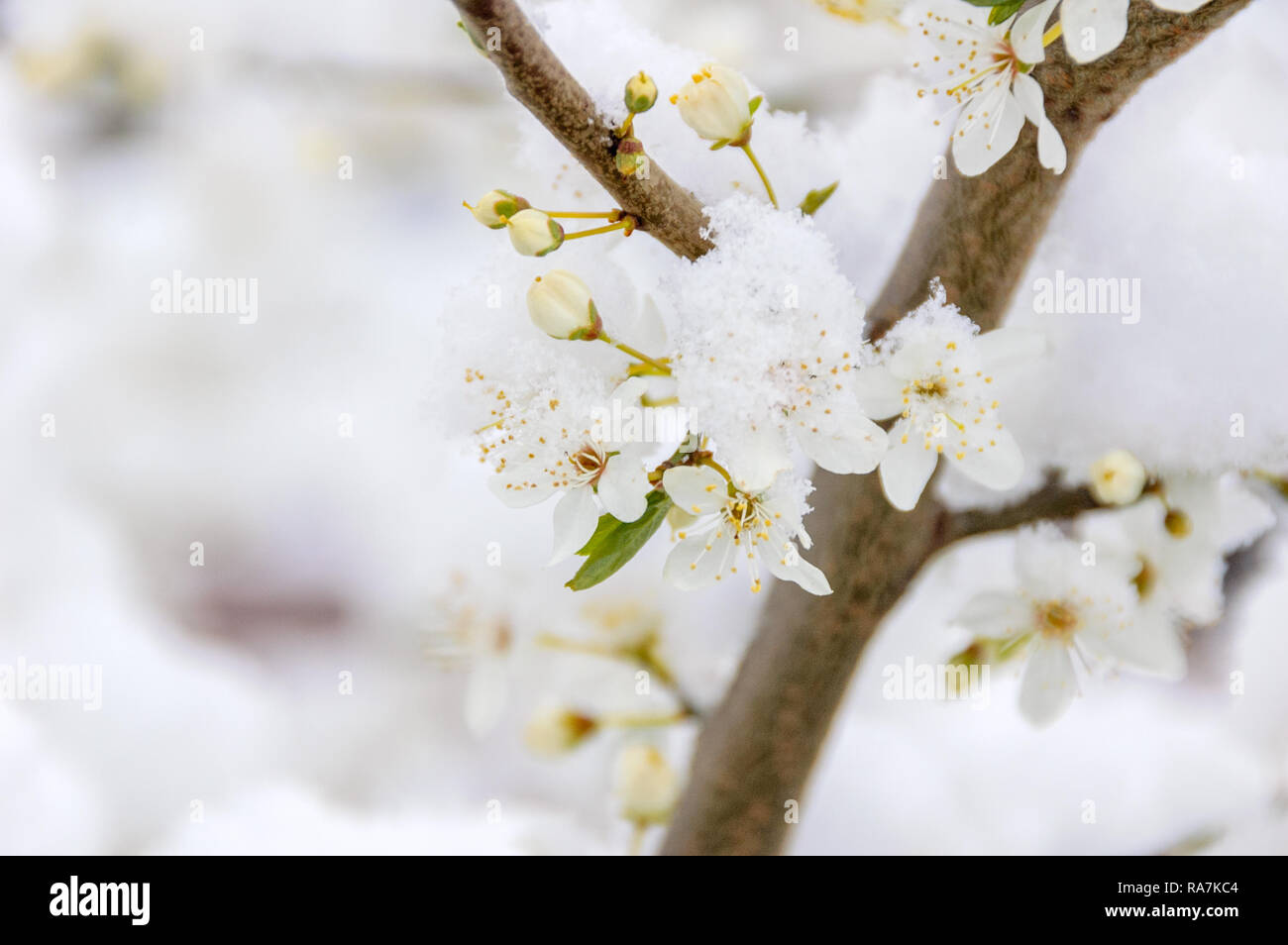 A dusting of snow has fallen on a branch of a tree with white blossoming flowers during early spring. - Stock Image