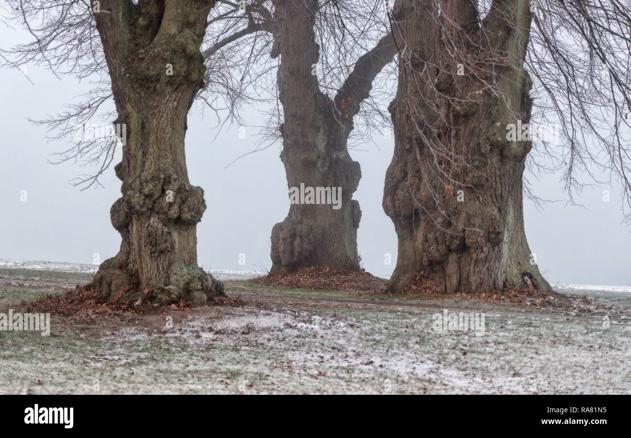 old oak trees by the shore on foggy day - Stock Image
