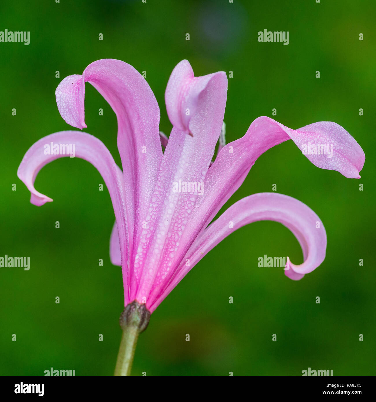 A macro shot of the reverse of a pink nerine bowdenii bloom. - Stock Image