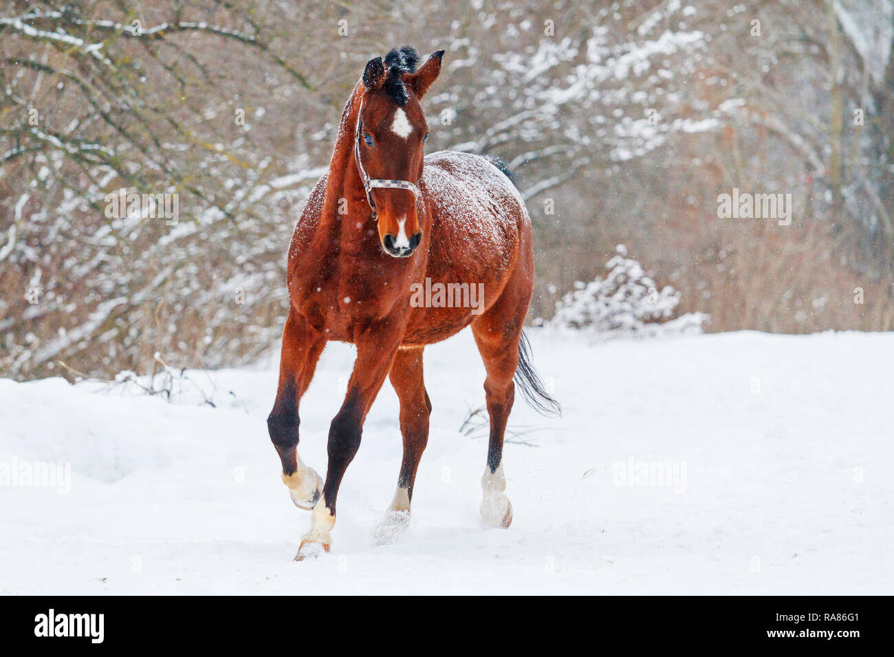Beautiful Horse Running On The White Snow Beautiful Winter Photos Stock Photo Alamy
