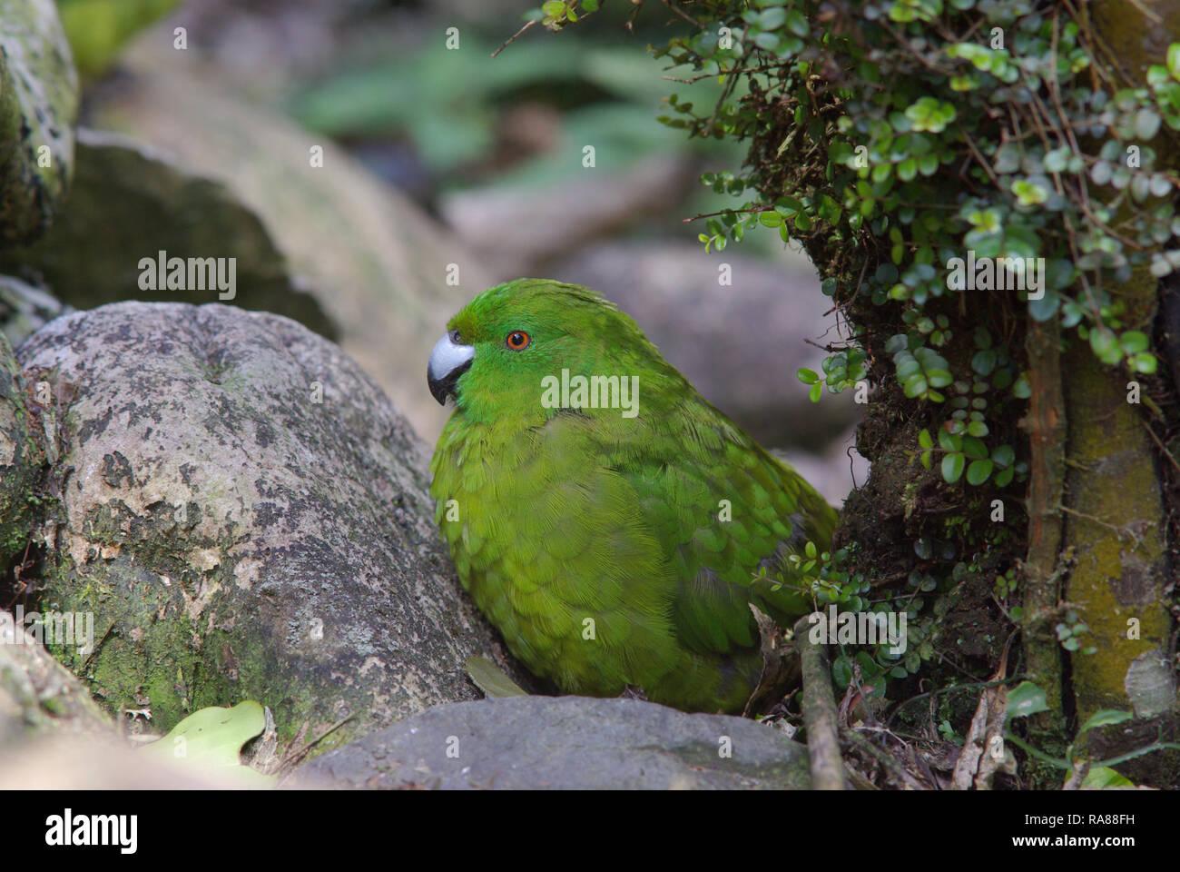 Antipodes Island parakeet, Cyanoramphus unicolor - Stock Image