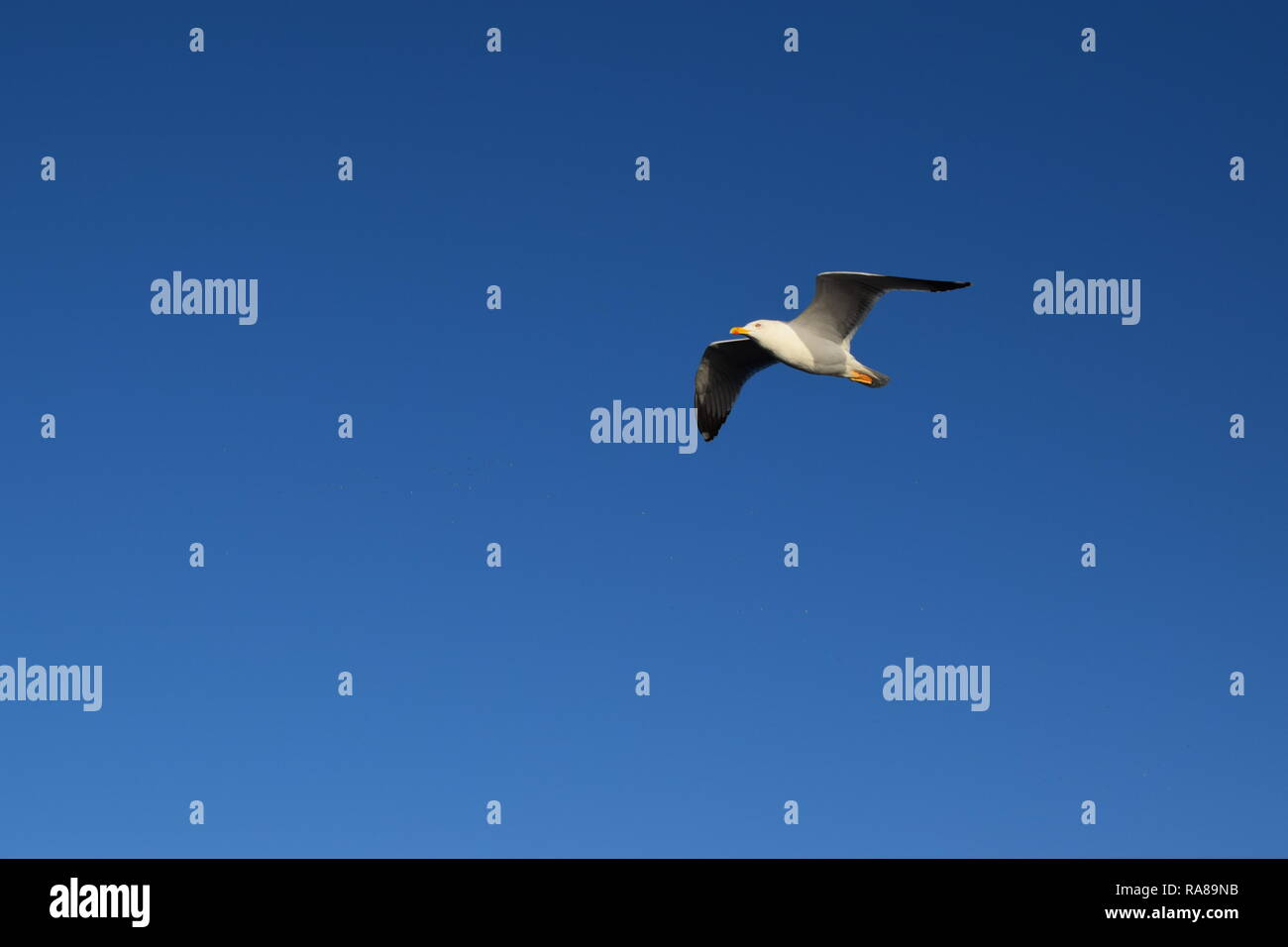 Seagull flying in a very blue sky near the sea and the beach - Stock Image