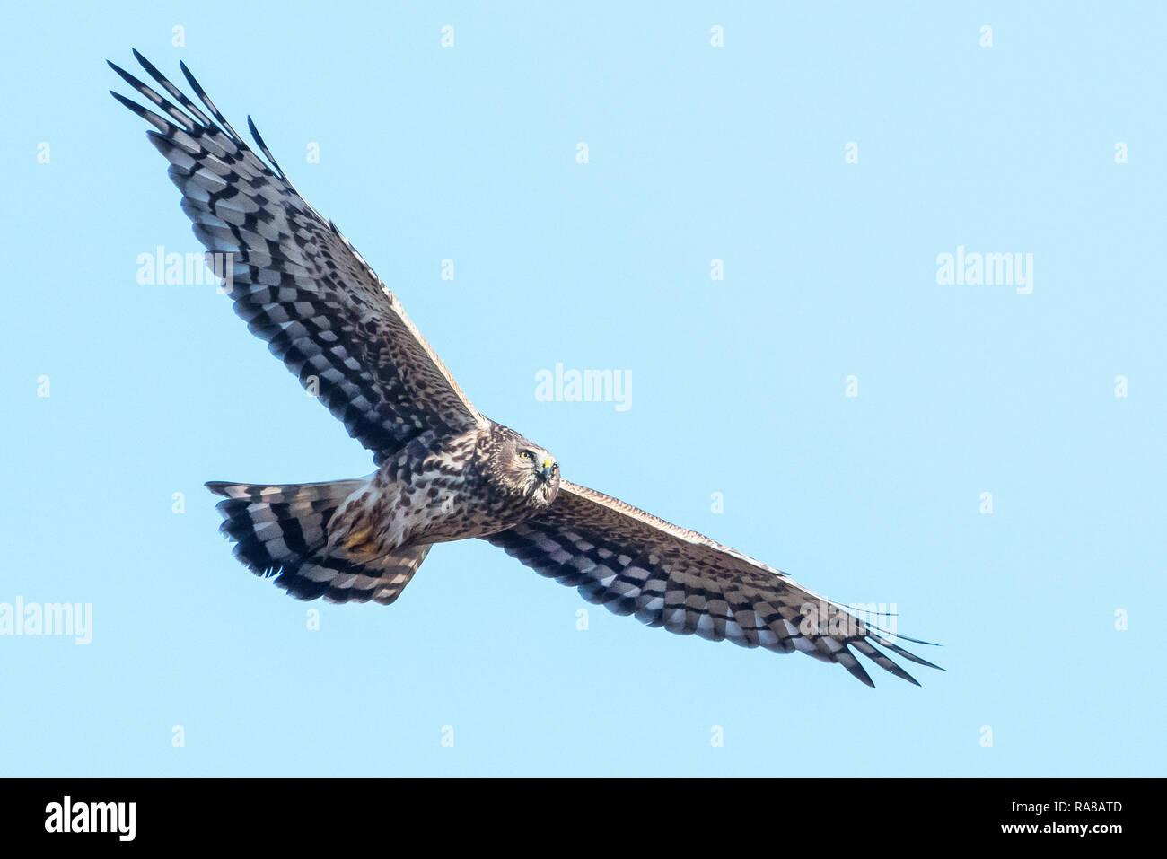 Northern harrier in flight Stock Photo