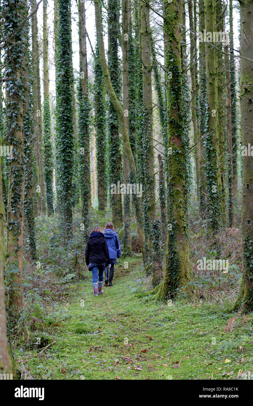 walkers in a tall conifer plantation at Common Wood, N Gower - Stock Image
