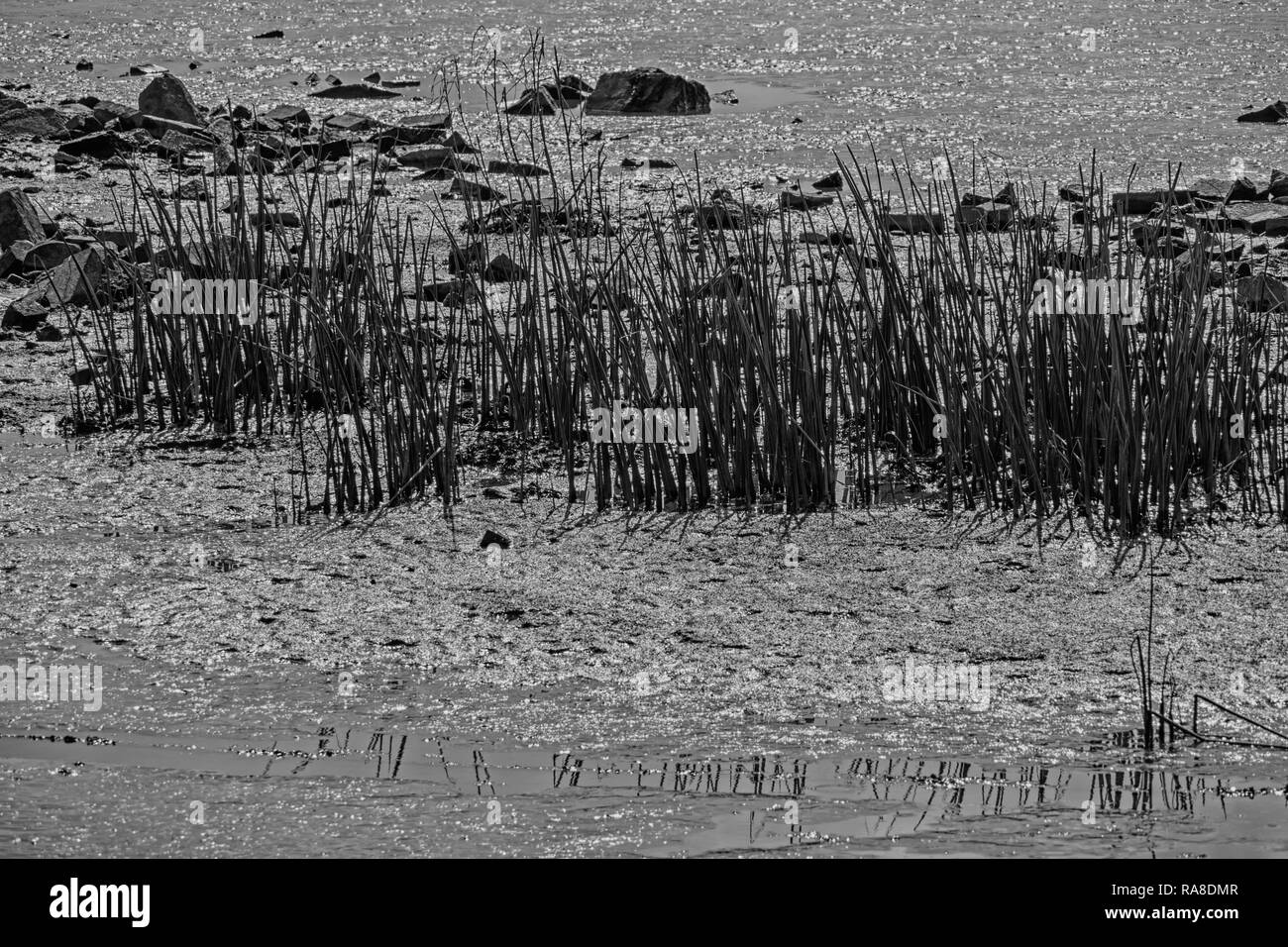 abstract image of plants and stones in mudflats - Stock Image