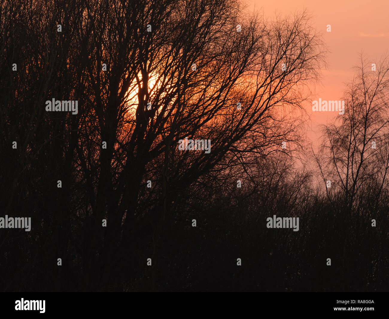 An atmospheric image of bare tree branches silhouetted against the setting sun and red sky. - Stock Image