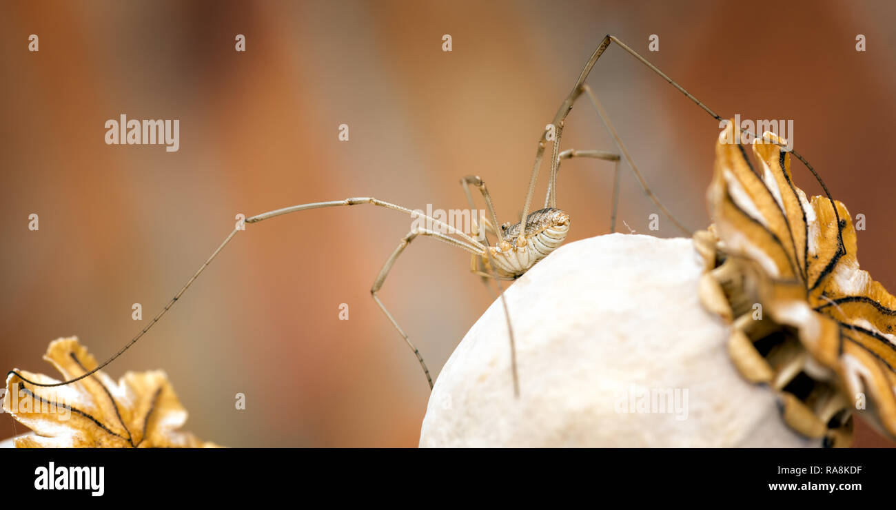 This harvestman was photographed in a garden on a poppy seed husk. Harvestman are the third largest order of the arachnids but are not true spiders. - Stock Image