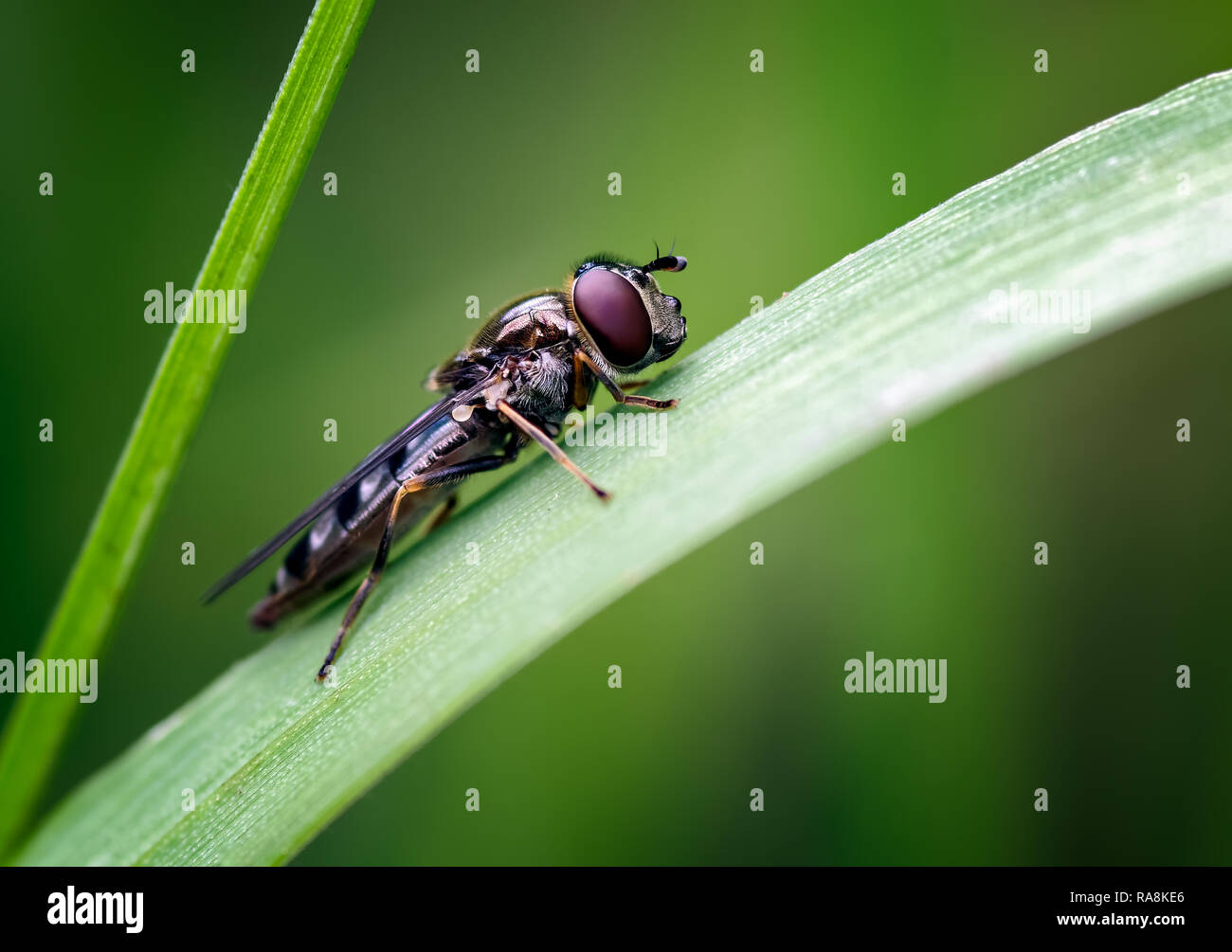 This hoverfly was posing nicely on a grass blade in a meadow near the coast in Jemimaville on the Black Isle, Scotland. - Stock Image