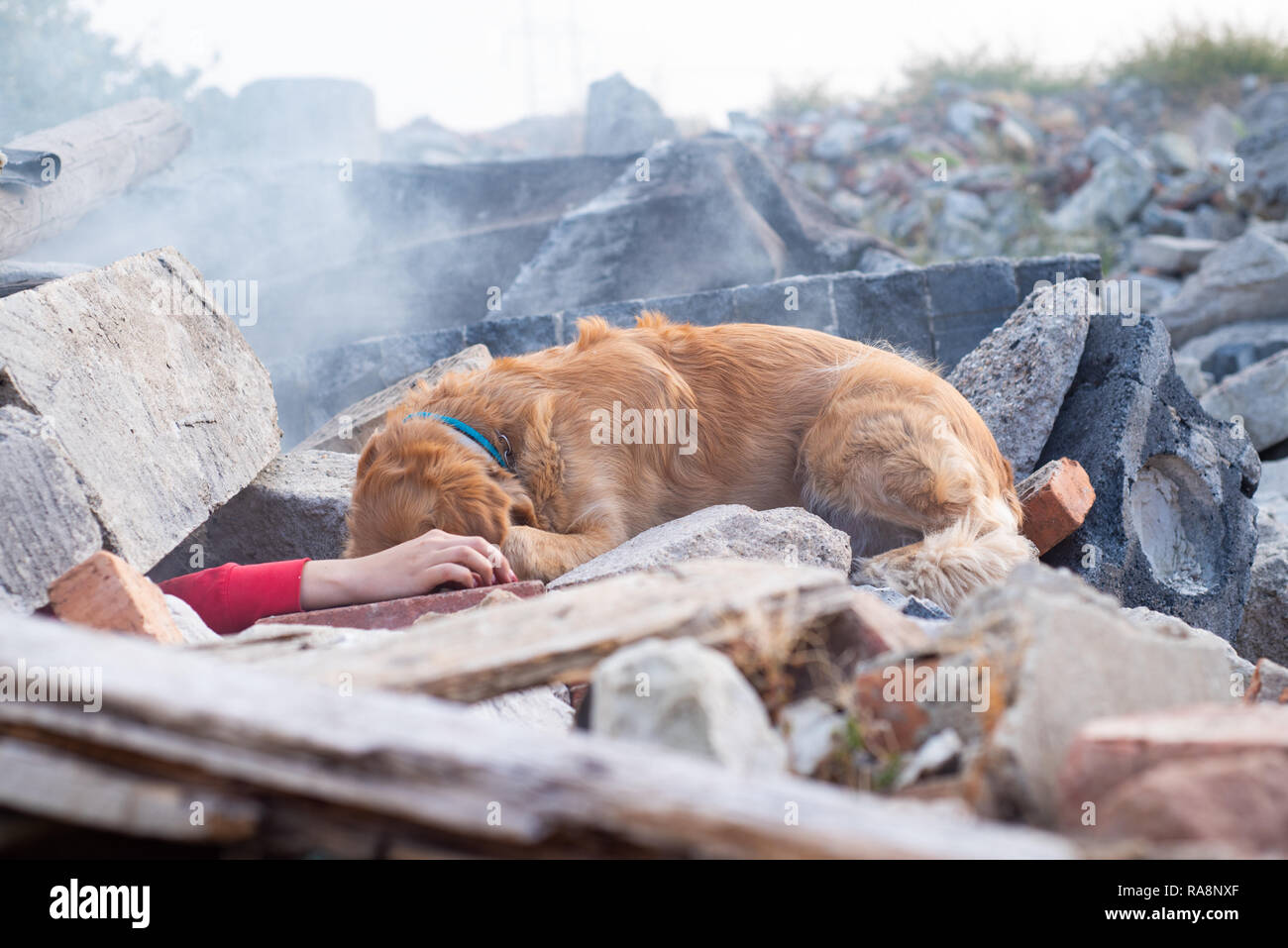 Dog looking for injured people in ruins after earthquake. Stock Photo