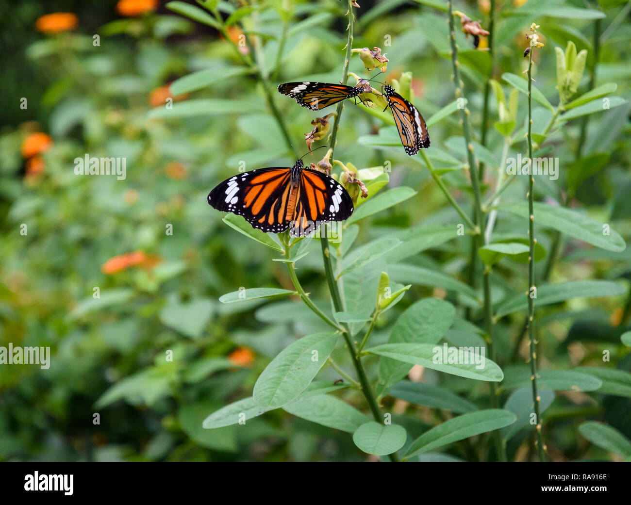 Common Tiger butterflies in Hong Kong Park - Stock Image