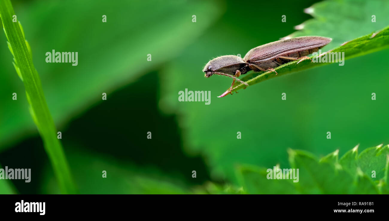 The beetle shown here is one of the family of click beetles (Elateridae) of which there are 73 known species in the UK. - Stock Image
