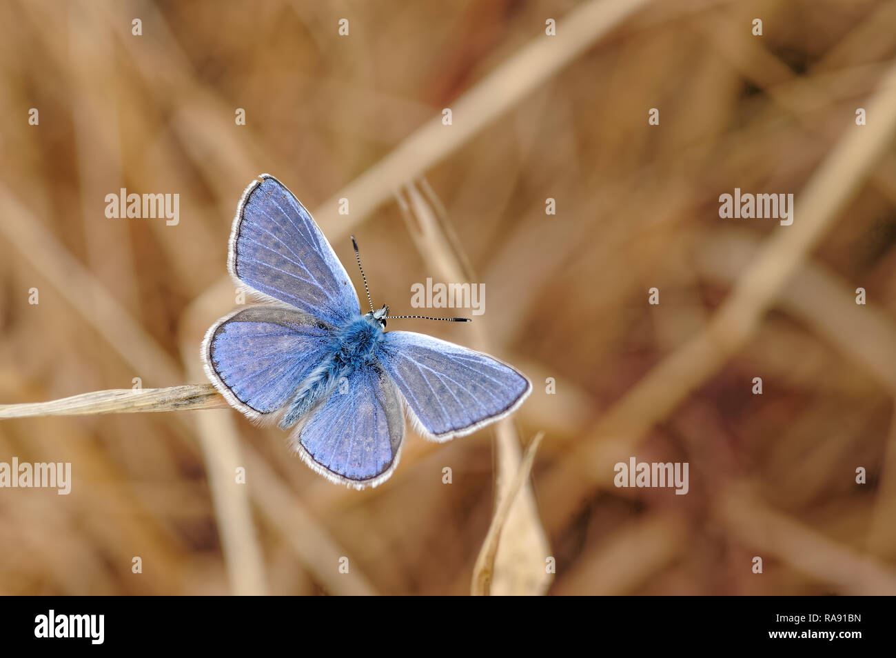This is the Common Blue Butterfly, Polyommatus icarus. As its name suggests this is one of the commonest butterflies in the UK. - Stock Image