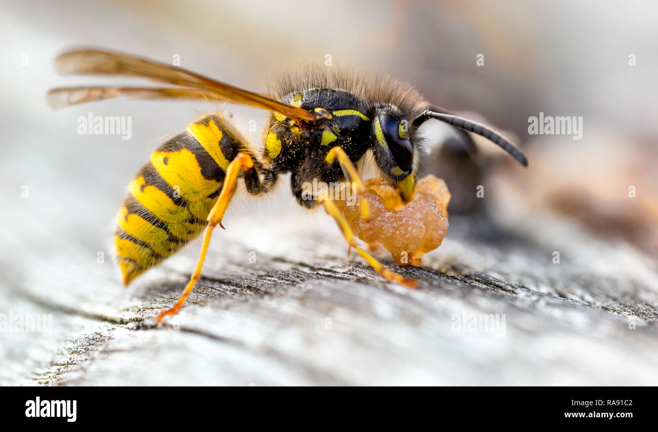 The Common Wasp (Vespula vulgaris) is a social wasp that can form nests as small as a dozen in the roof of your shed to colonies boasting 10 000 plus. - Stock Image