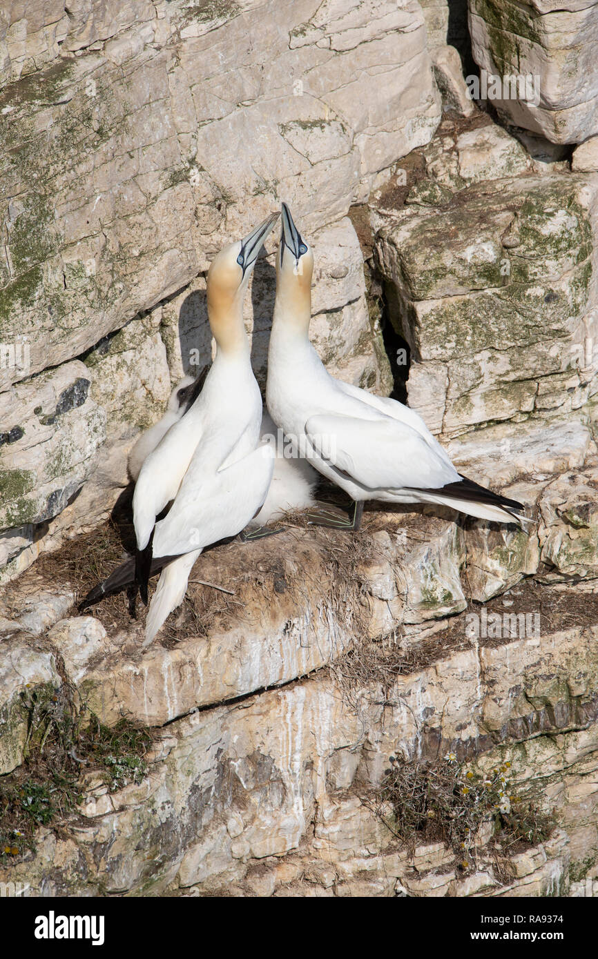 A pair of Gannets Morus bassanus sheltering a chick on the chalk face cliffs at Bempton on the east Yorkshire coast Stock Photo