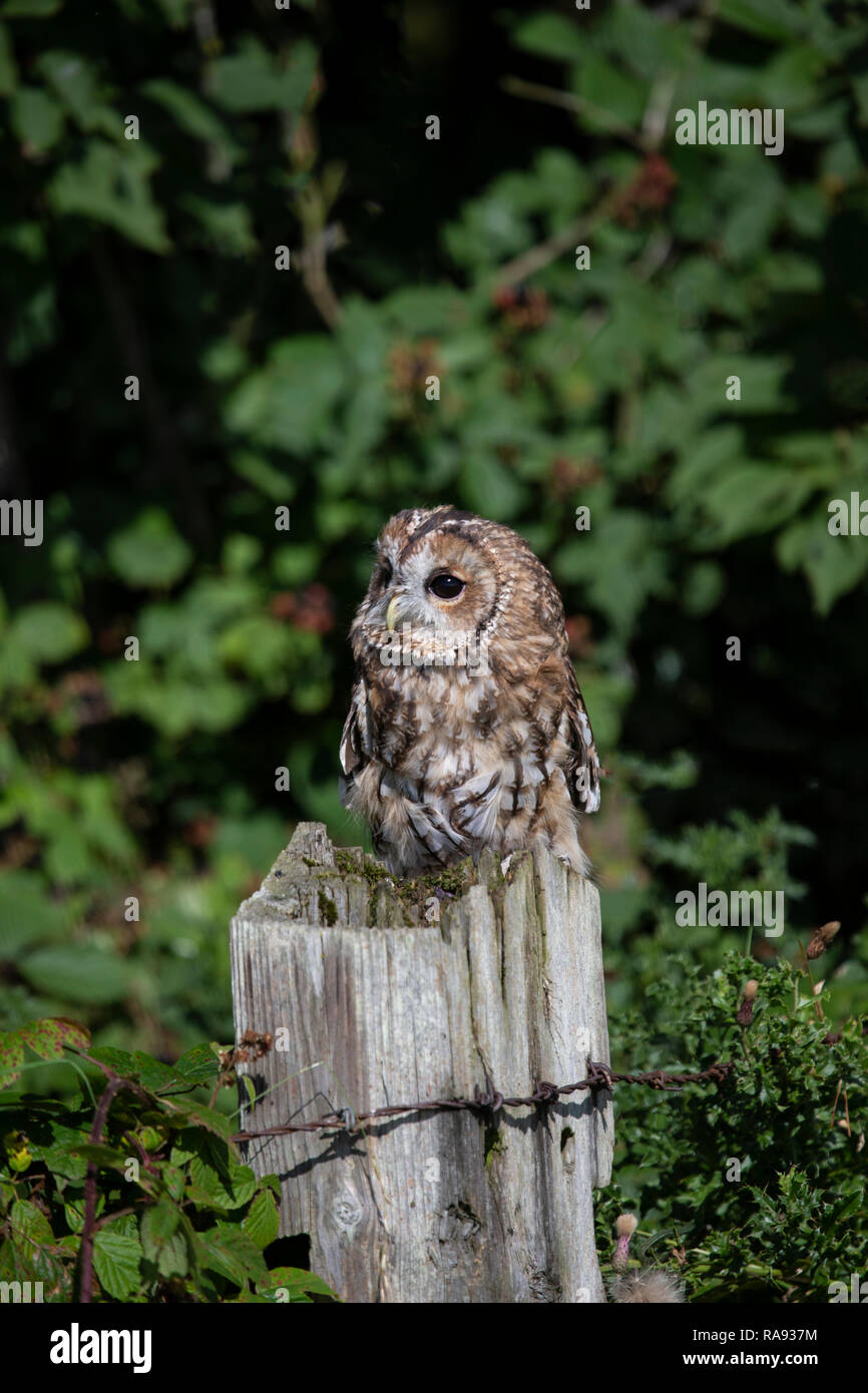 Tawny Owl Strix aluco perching on an old wooden fencepost and taken under controlled conditions - Stock Image