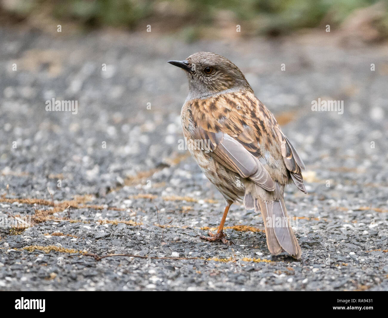 Adult dunnock or hedge accentor, Prunella modularis, back view standing on pavement in garden - Stock Image