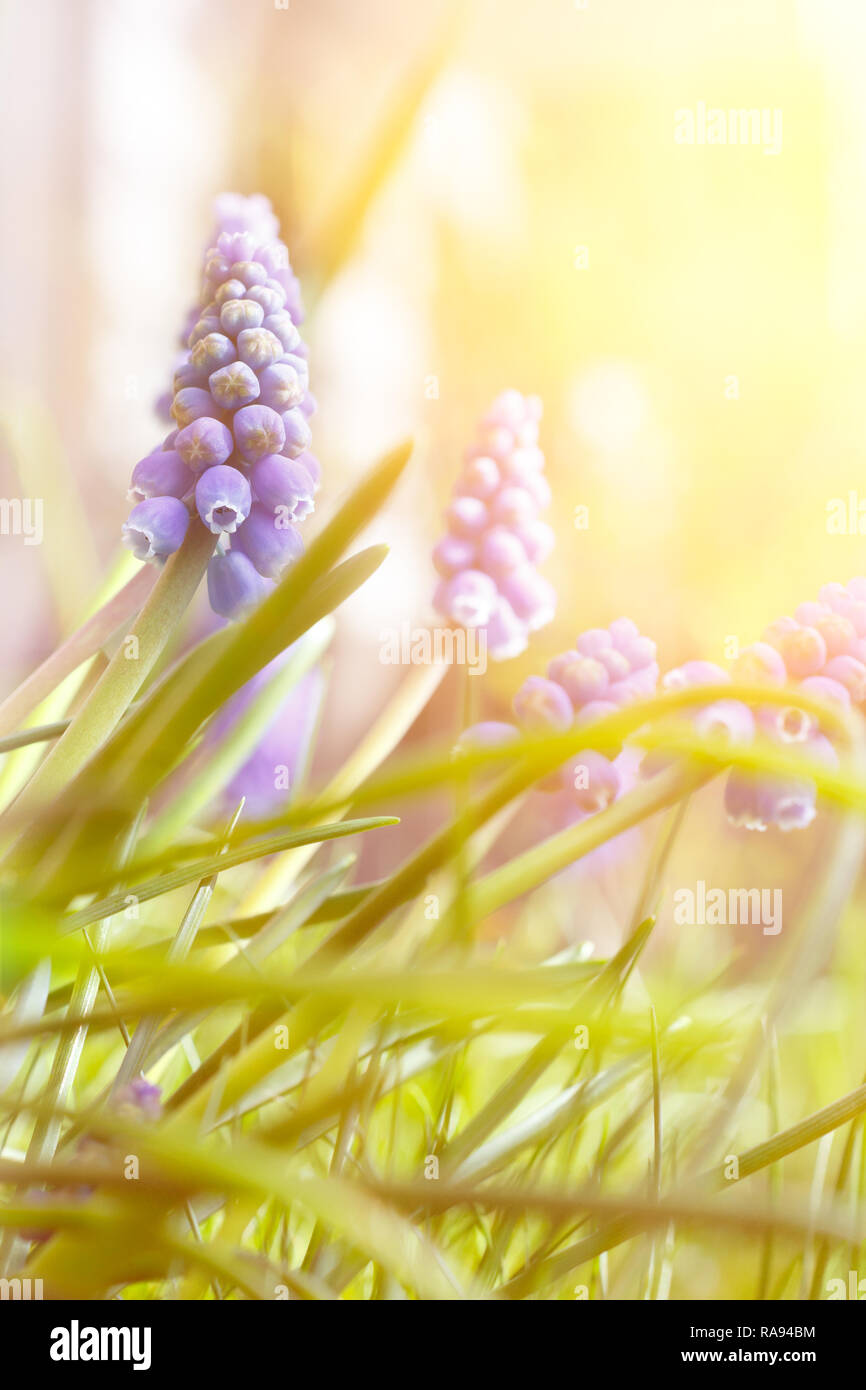 Blue muscari or grape hyacinth flowers in bright sunlight, spring background template with copy space - Stock Image