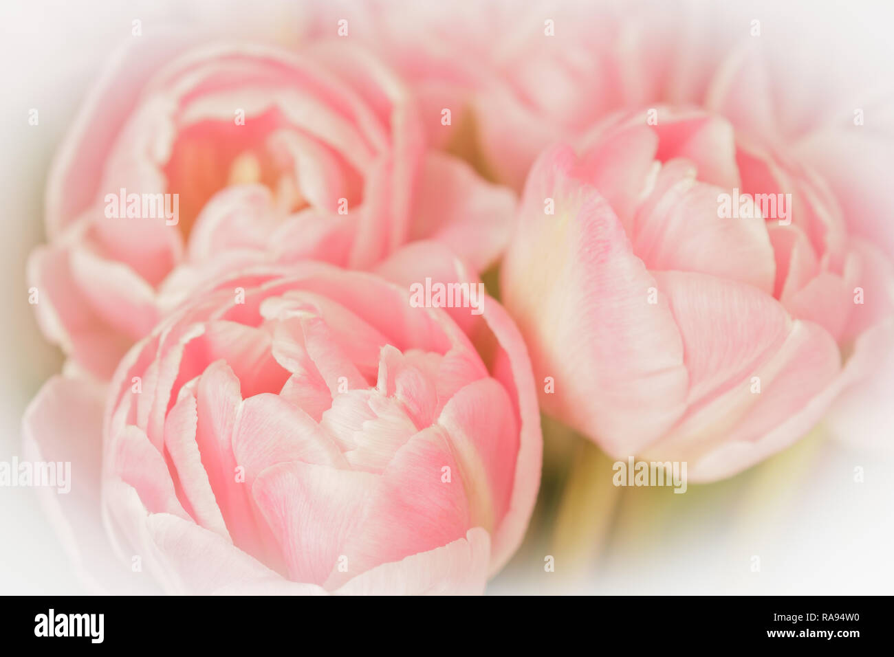 Tulip flowers in light shades of salmon pink against white, nostalgic and romantic background template, vintage filter effect Stock Photo