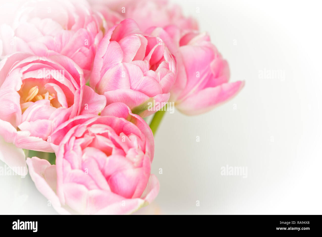 Bunch of tulip flowers in shades of pink against white, nostalgic and romantic background template for florists or greeting cards Stock Photo