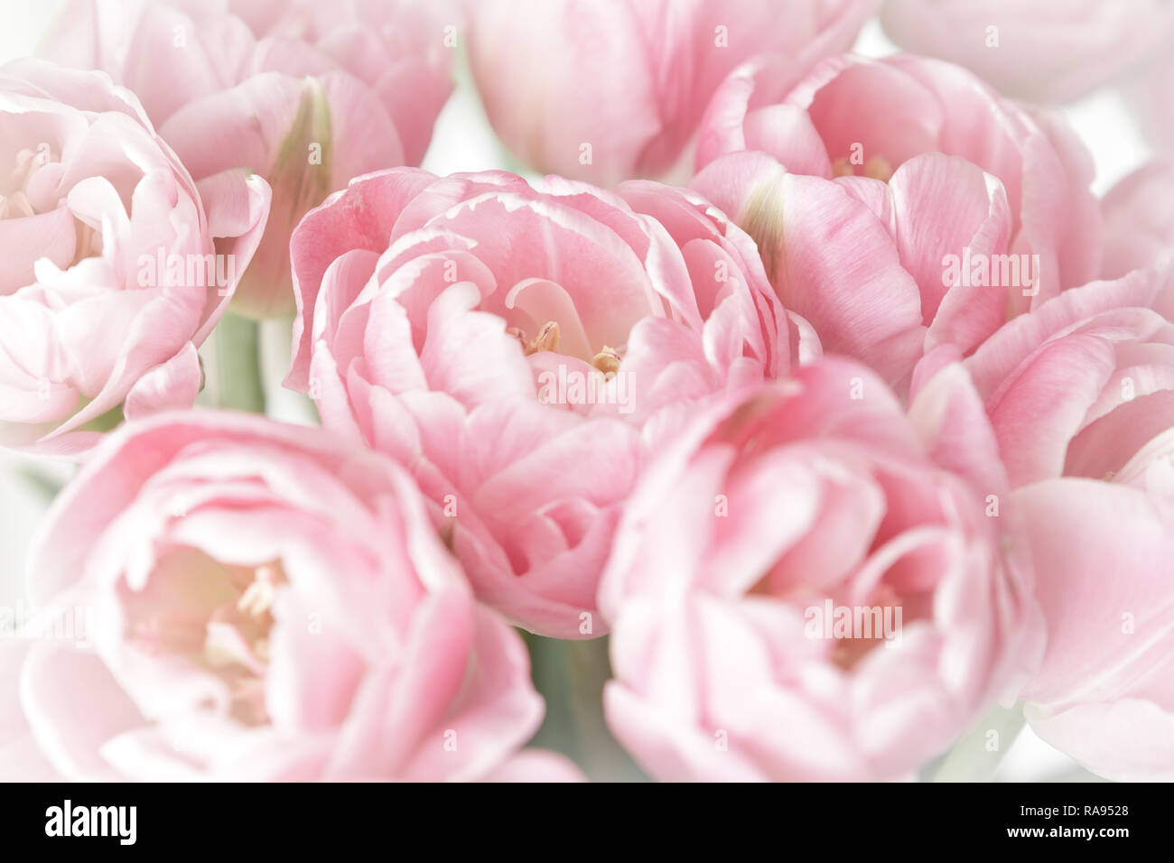 Pink tulip flowers in full bloom, nostalgic and romantic background template with vintage effect Stock Photo