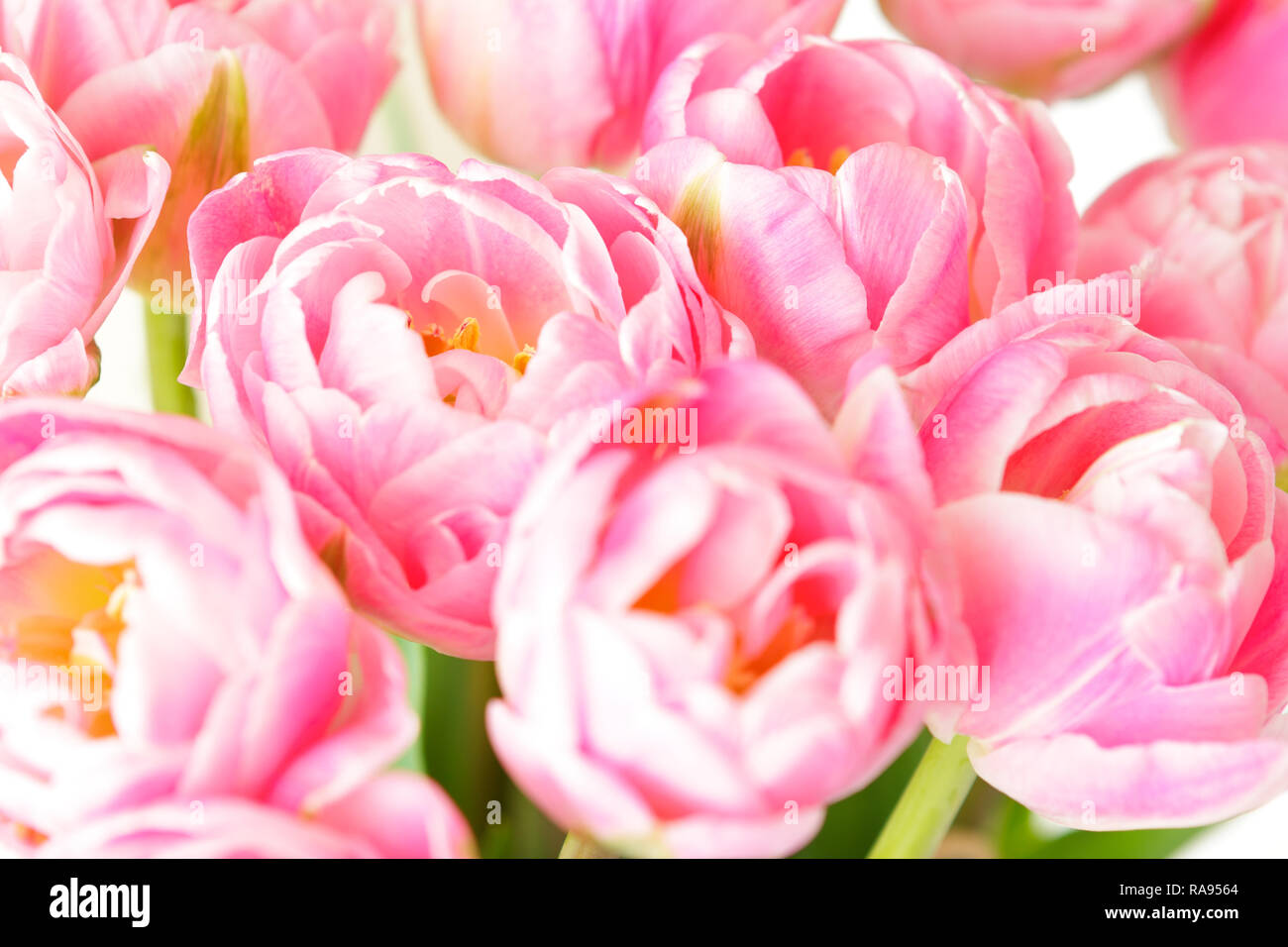 Tulip flowers in shades of pink against white, nostalgic spring background template for florists or greeting cards Stock Photo