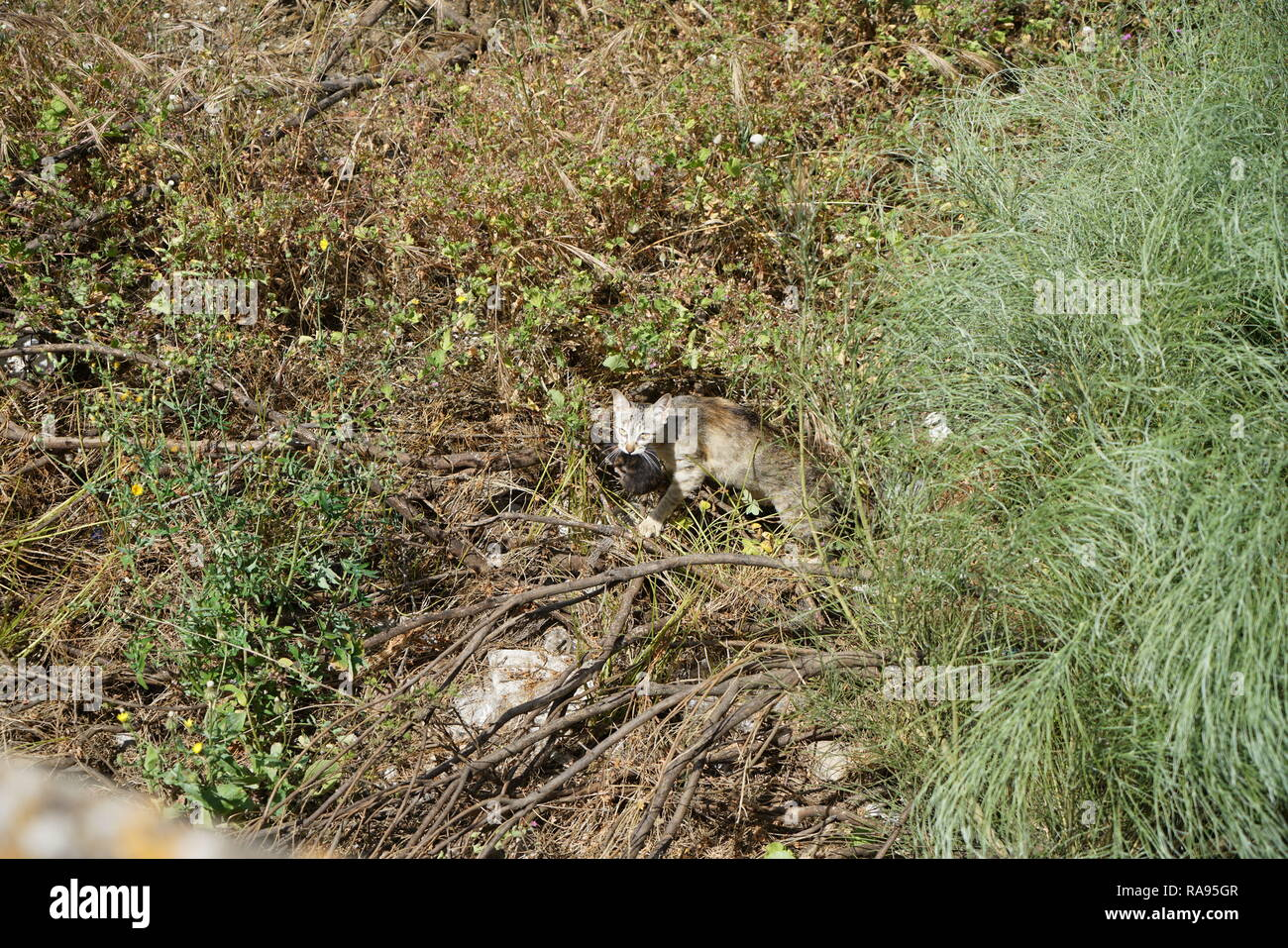 Wild cats are predominantly feral domestic cats in the Southern European countries and mostly European shorthair - Stock Image