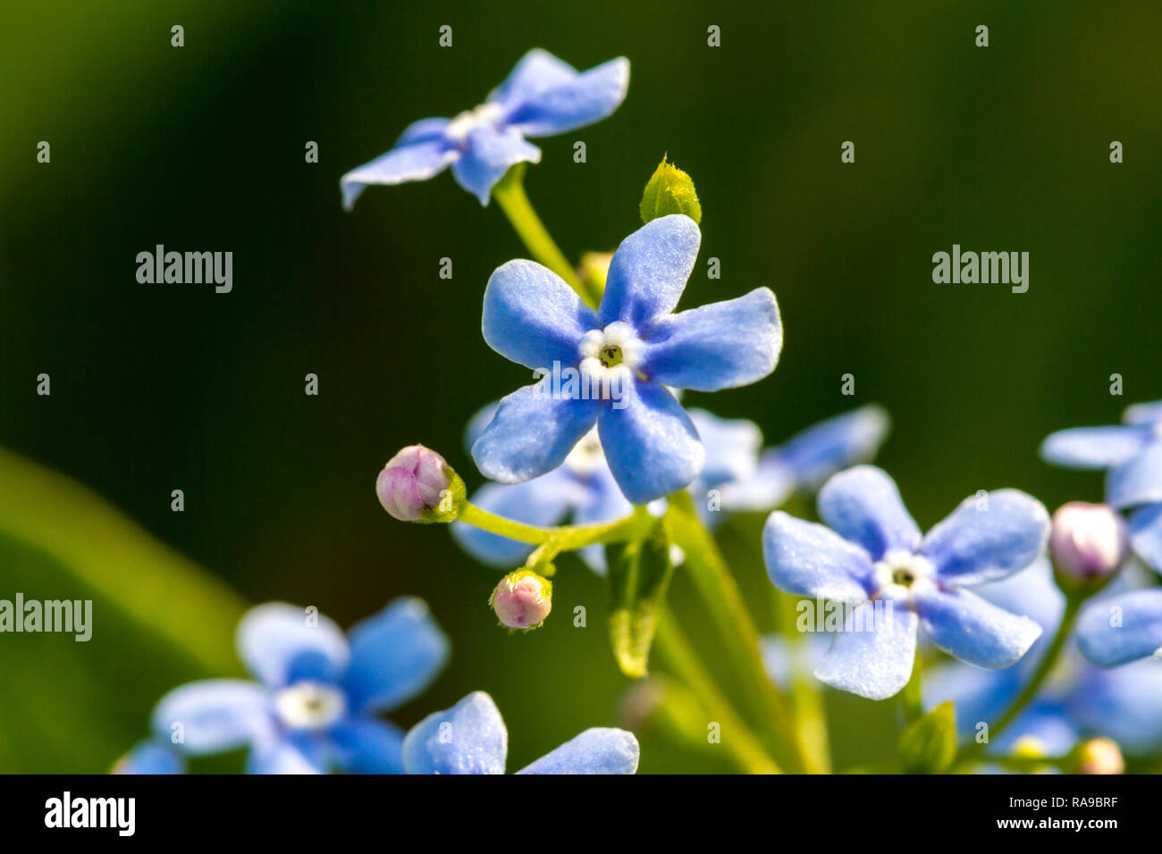Forget-me-nots flowers in spring on green natural background. Romantic gentle artistic image. - Stock Image