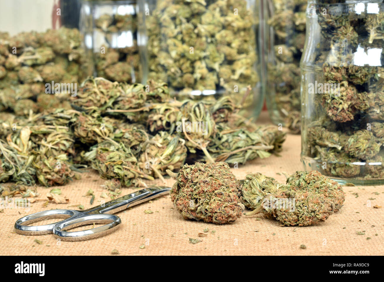 Trimming of cannabis buds and storing them in a glass jars - Stock Image