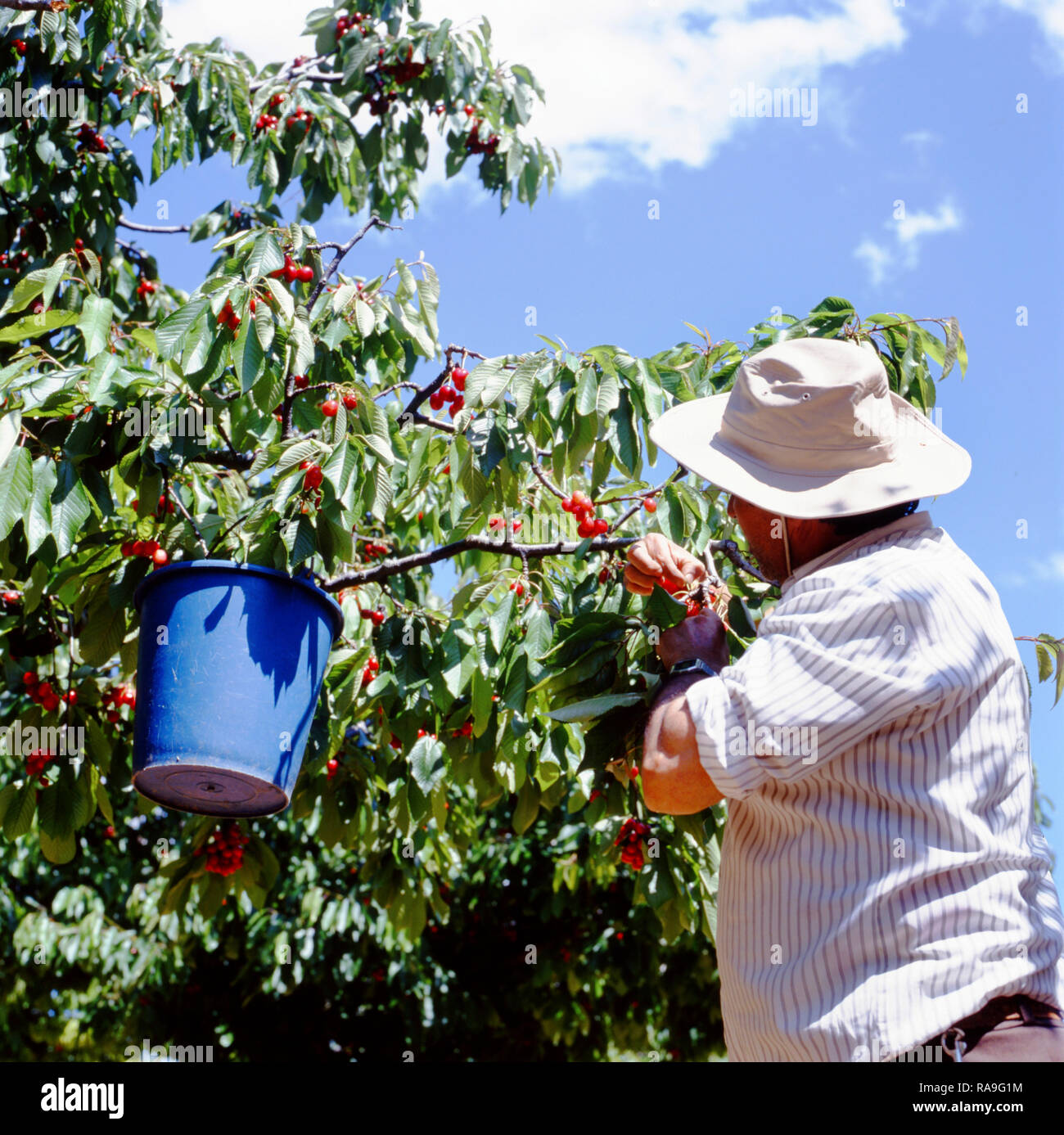 Apt, France-August 11,2017 Cherry farmer havesting the red ripe cherries in his orchard - Stock Image